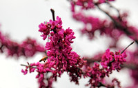 Redbud Blooming - Featured Photo for April 2013