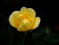 The Yellow Rose of Texas - Featured Photo for May 2013