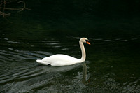 Swan on Barton Creek